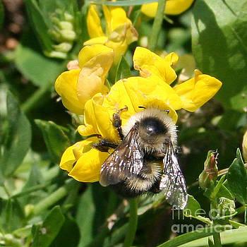PJ Boylan - Bee on Yellow Flower