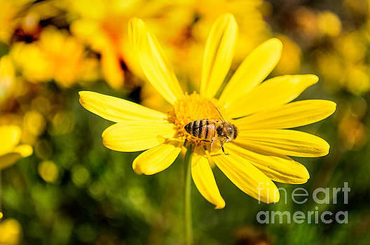 Bee on Yellow Flower by Scott Parker