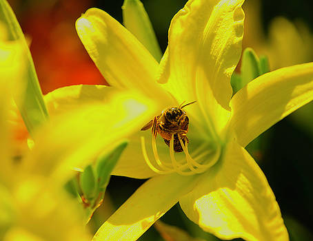 Bee On Yellow Lilly by John Forde