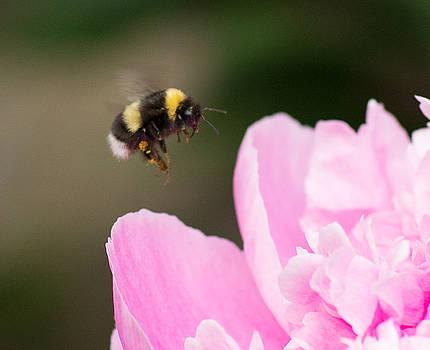Dee Carpenter - Bee Pollenating Peony