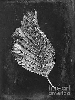 Beech leaf by John Edwards