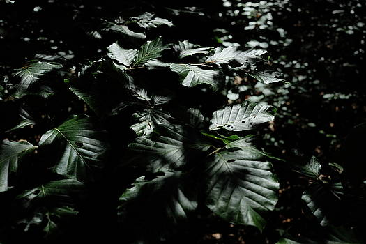Martin Stankewitz - beech leaves in summer dark shadows bright lights