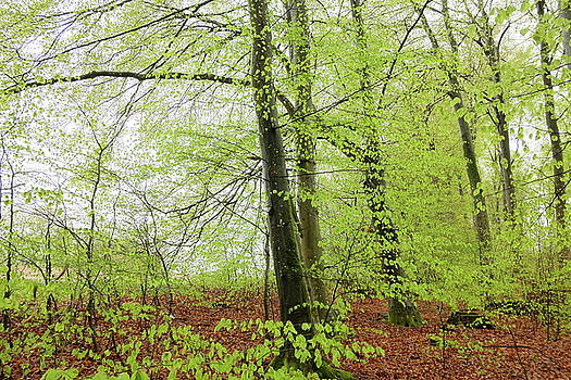 Martin Stankewitz - beech tree forest in spring season fresh green leaves