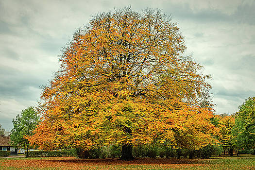 Beech tree in Autumn by Mike Santis