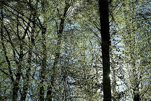 Martin Stankewitz - beech tree trunks spring foliage