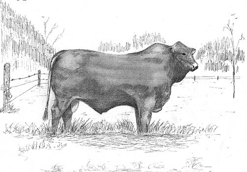 Beefmaster by Barney Hedrick