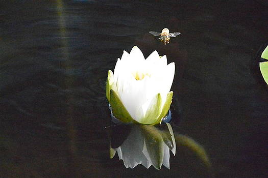 BeeLanding Water Lily  by Nicki Bennett