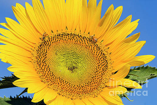 Bees pollinating a flowering sunflower by Carl Chapman