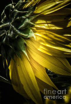 Behind the Petals-Sunflower by Toma Caul