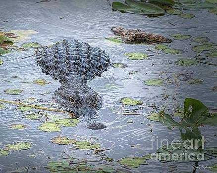 Being Watched - Alligator by Jan Mulherin