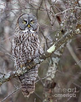 Believe- Great Gray Owl by Lloyd Alexander