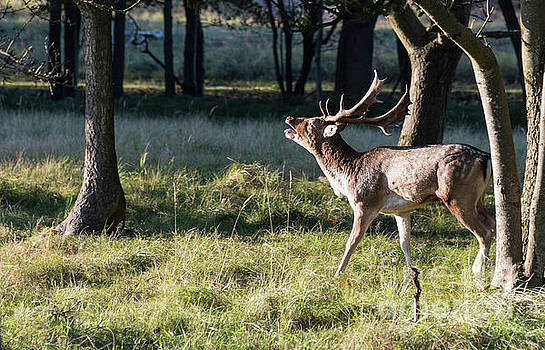 Compuinfoto - belling fallow deer in nature