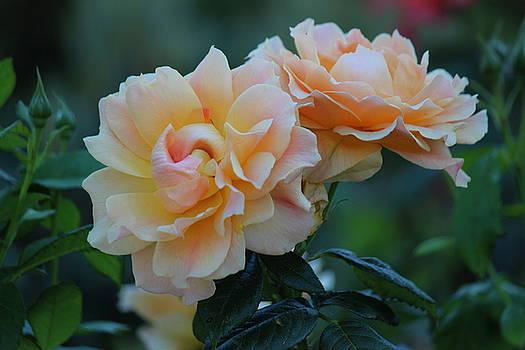 Rosanne Jordan - Beloved Roses