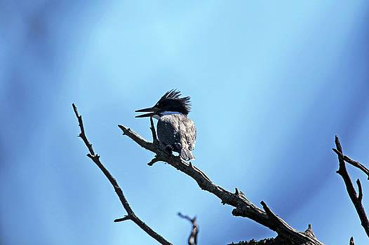 Debbie Oppermann - Belted Kingfisher