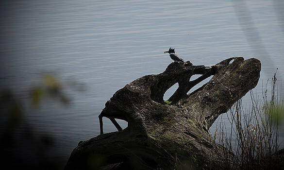 Belted kingfisher by Martin Cooper