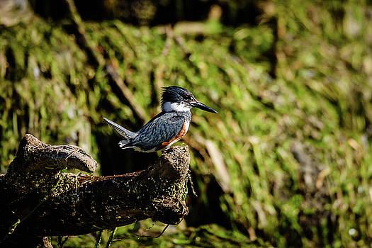 Michael McAuliffe - Belted Kingfisher