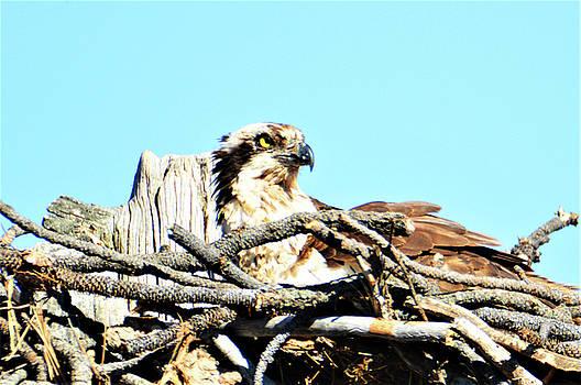 Bend Osprey by Kathy Kelly