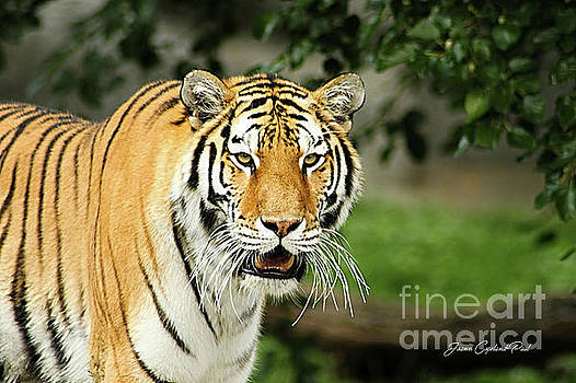 Bengal Tiger by Joann Copeland-Paul