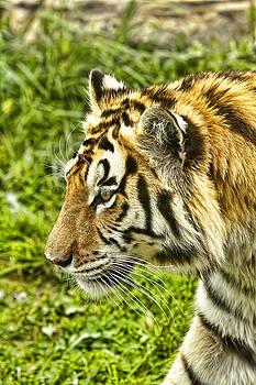 Tim Wilson - Bengal Tiger