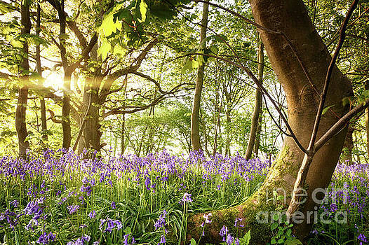 Simon Bratt Photography LRPS - Bent tree in bluebell forest