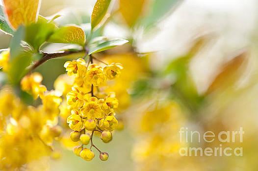 Berberis yellow flowering shrub detail by Arletta Cwalina