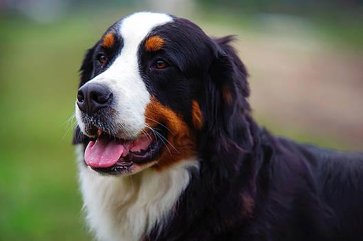 Jenny Rainbow - Bernese Mountain Dog Portrait