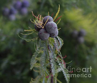 Dale Powell - Berries on a Cedar Tree