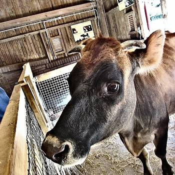 Bessie the Heifer by Brenda Konitzer