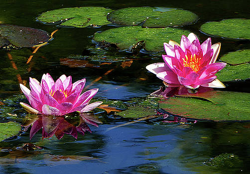 Bethesda Fountain Lilies by Allan Einhorn