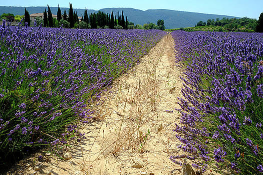 Between Lavender Rows by August Timmermans