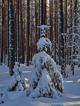 Between the Pines by Jouko Lehto