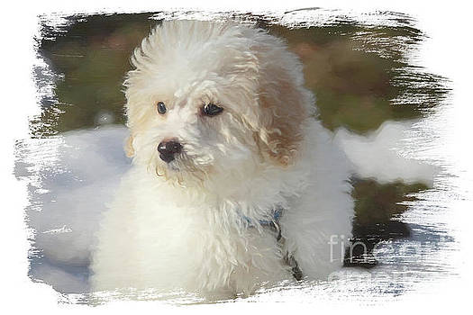 Bichon Poo Pup by Eleanor Abramson