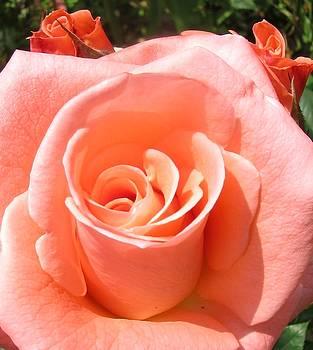 Big and small roses by Galina Todorova