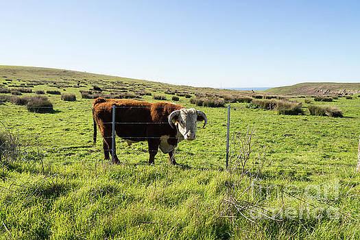 Wingsdomain Art and Photography - Big Bull At Point Reyes National Seashore California DSC4884