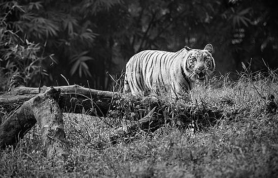 Big Cat in the woods by Pravine Chester