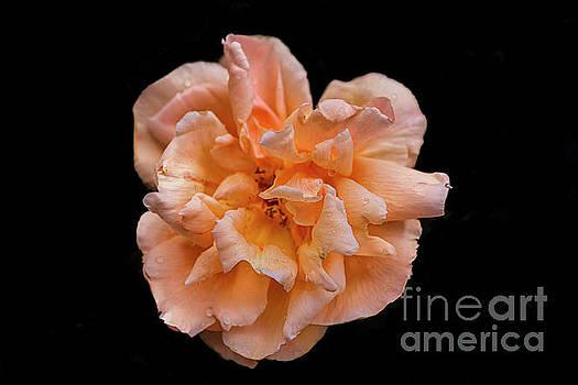 Patricia Hofmeester - Big colorful rose