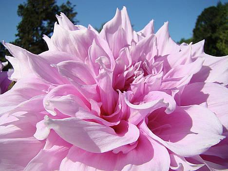 Baslee Troutman - BIG DINNER PLATE Dahlia Flower Garden Floral Baslee Troutman