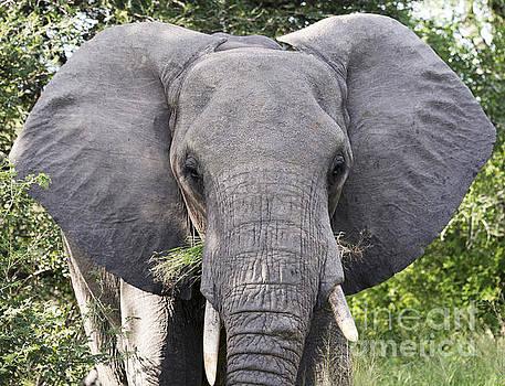 Compuinfoto  - big elephant in kruger park