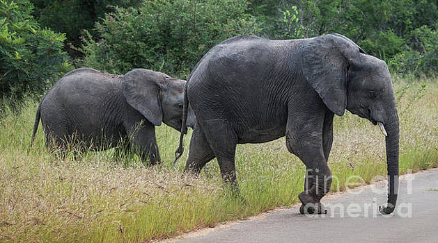 Compuinfoto - big elephant with young baby elephant  in kruger park