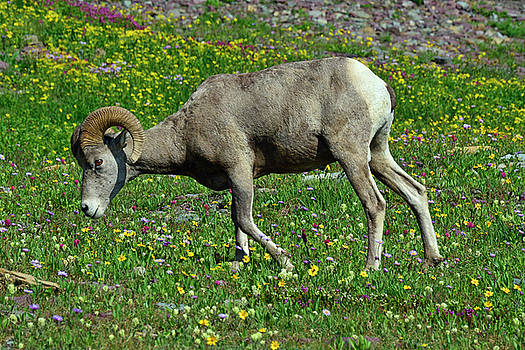 Big Horn Ram Eating Flowers in Glacier National Park by Bruce Gourley