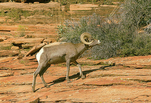 Big Horn Ram by Peter J Sucy
