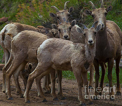 Big Horn Sheep by Barbara Schultheis