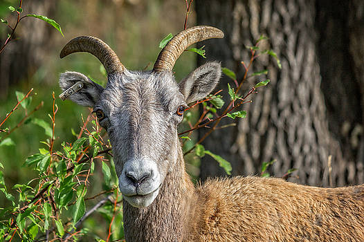 Ray Van Gundy - Big Horn Sheep