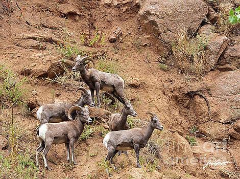 Big Horn Sheep family by Jim Fillpot