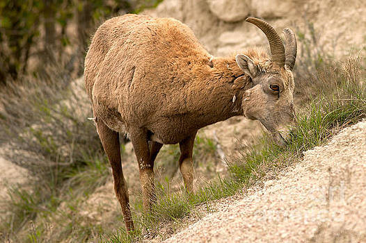 Big Horn Sheep Grazing in South Dakota by Natural Focal Point Photography