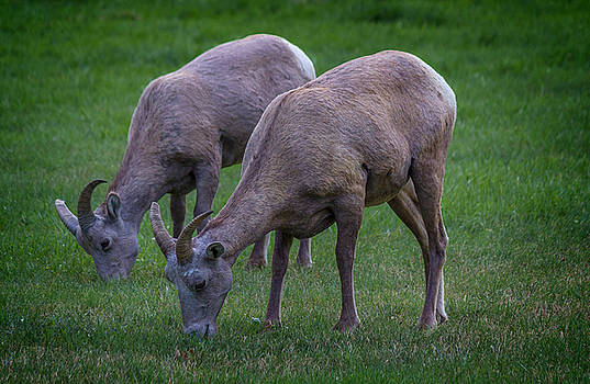 Ray Van Gundy - Big Horn Sheep in Custer Park
