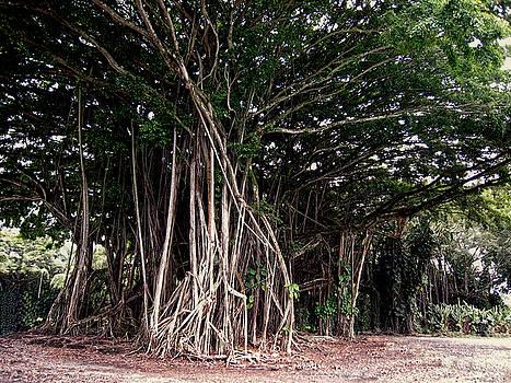 Daniel Hagerman - BIG ISLAND BANYAN TREE