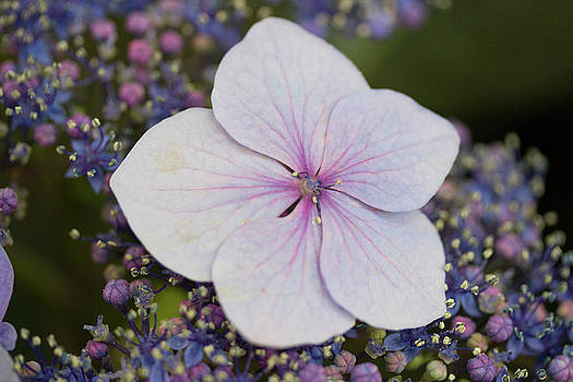 Big Leaf Hydrangea by Mark Michel