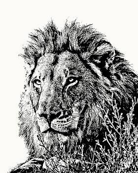 Big Male Lion Portrait by Scotch Macaskill