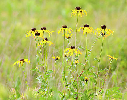 Big Meadows Black-eyed Susans by Lara Ellis